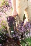 Η Farmer συγκεντρώνει lavender τα λουλούδια στο ηλιοβασίλεμα στοκ φωτογραφίες με δικαίωμα ελεύθερης χρήσης