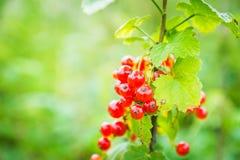 Η Farmer συλλέγει τα ώριμα μούρα κόκκινων σταφίδων Στοκ εικόνες με δικαίωμα ελεύθερης χρήσης
