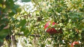 Η Farmer συλλέγει τη συγκομιδή/τη δενδροκηποκομία/τη γεωργία/την καλλιέργεια/τη συγκομιδή φιλμ μικρού μήκους