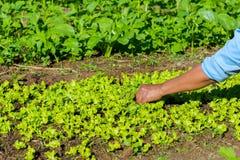 Η Farmer συλλέγει το λαχανικό Στοκ εικόνες με δικαίωμα ελεύθερης χρήσης