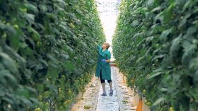Η Farmer φροντίζει τις τοματιές σε ένα θερμοκήπιο 4k, φιλμ μικρού μήκους