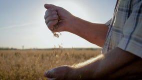 Η Farmer χύνει στα χρυσά ώριμα σιτάρια από χέρι στο χέρι το υπόβαθρο τον τομέα απόθεμα βίντεο