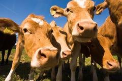 Η Guernsey αγελάδα Στοκ Φωτογραφίες