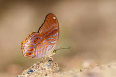 Η Malayan πεταλούδα Assyrian (malayana clarissa Terinos) Στοκ Εικόνες