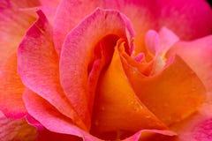 Η Mardi Gras αυξήθηκε μακροεντολή λουλουδιών Στοκ εικόνες με δικαίωμα ελεύθερης χρήσης
