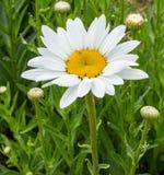 Η Marguerite τρίβει με το λουλούδι στοκ εικόνα με δικαίωμα ελεύθερης χρήσης