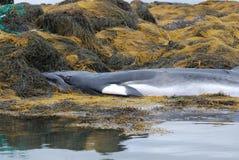 Η Minke φάλαινα πέθανε στο φύκι Στοκ εικόνα με δικαίωμα ελεύθερης χρήσης