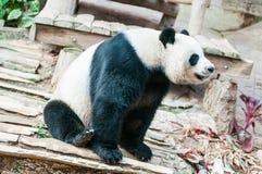 Η Panda αντέχει στοκ φωτογραφία