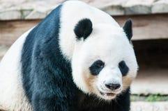 Η Panda αντέχει στοκ εικόνες