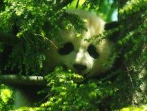 Η Panda αντέχει - Bao Bao - τον εθνικό ζωολογικό κήπο Στοκ φωτογραφίες με δικαίωμα ελεύθερης χρήσης