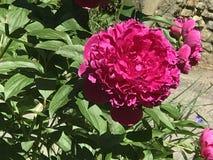 Η peony-βασίλισσα του λουλουδιού στοκ εικόνες