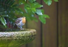 Η Robin στον κήπο Στοκ φωτογραφία με δικαίωμα ελεύθερης χρήσης