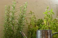 Η Rosemary, ο βασιλικός και το θυμάρι στο άσπρο υπόβαθρο με το πότισμα μπορούν Στοκ εικόνες με δικαίωμα ελεύθερης χρήσης