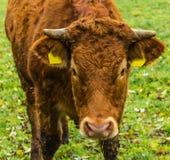 Η Simmental αγελάδα είναι καφετιά Στοκ Εικόνες