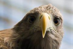 θάλασσα αετών Στοκ φωτογραφίες με δικαίωμα ελεύθερης χρήσης