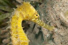 θάλασσα αλόγων κίτρινη Στοκ Εικόνες