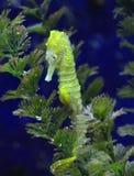 θάλασσα αλόγων στοκ φωτογραφία