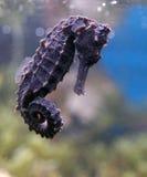 θάλασσα αλόγων Στοκ Φωτογραφίες