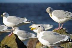 θάλασσα γλάρων κοπαδιών Στοκ Εικόνα