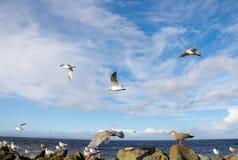 θάλασσα γλάρων κοπαδιών Στοκ Φωτογραφίες