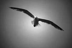 θάλασσα γλάρων πτήσης πο&upsilon Στοκ φωτογραφία με δικαίωμα ελεύθερης χρήσης