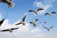 θάλασσα γλάρων πτήσης Στοκ εικόνες με δικαίωμα ελεύθερης χρήσης