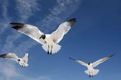 θάλασσα γλάρων πτήσης Στοκ Εικόνα
