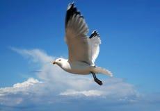 θάλασσα γλάρων πτήσης Στοκ Φωτογραφία
