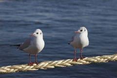 θάλασσα γλάρων φίλων Στοκ Εικόνες