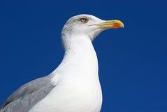 θάλασσα γλάρων Στοκ εικόνες με δικαίωμα ελεύθερης χρήσης