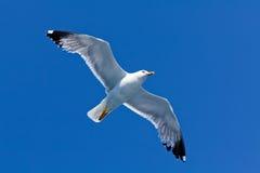 θάλασσα γλάρων Στοκ Φωτογραφίες