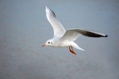 θάλασσα γλάρων Στοκ φωτογραφίες με δικαίωμα ελεύθερης χρήσης