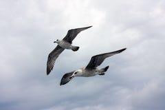 θάλασσα γλάρων Στοκ εικόνα με δικαίωμα ελεύθερης χρήσης