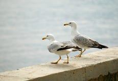 θάλασσα γλάρων Στοκ φωτογραφία με δικαίωμα ελεύθερης χρήσης