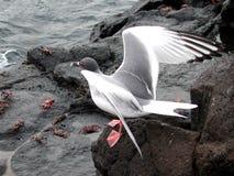 θάλασσα θηραμάτων γλάρων Στοκ εικόνα με δικαίωμα ελεύθερης χρήσης
