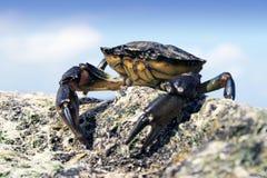 θάλασσα καβουριών Στοκ φωτογραφία με δικαίωμα ελεύθερης χρήσης