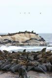 θάλασσα λιονταριών Στοκ Εικόνες