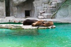 θάλασσα λιονταριών στοκ φωτογραφίες με δικαίωμα ελεύθερης χρήσης