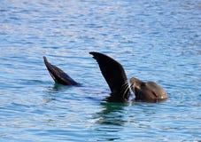 θάλασσα λιονταριών Στοκ εικόνα με δικαίωμα ελεύθερης χρήσης