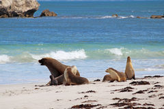 θάλασσα λιονταριών Στοκ φωτογραφία με δικαίωμα ελεύθερης χρήσης