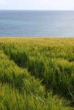 θάλασσα σίκαλης πεδίων Στοκ Εικόνα
