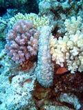 θάλασσα σκοπέλων αγγουριών κοραλλιών Στοκ Εικόνες