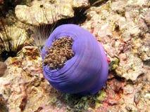 θάλασσα Ταϊλάνδη anemone στοκ εικόνα με δικαίωμα ελεύθερης χρήσης