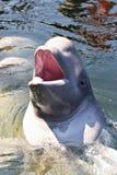 Θάλασσα της Ιαπωνίας. Φάλαινες 4 Στοκ Εικόνες