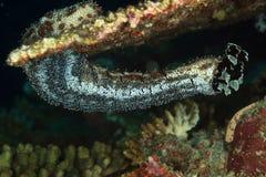 θάλασσα των Μαλβίδων s αγγουριών graeffe Στοκ Φωτογραφίες