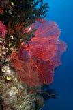 θάλασσα των Φίτζι ανεμιστή& στοκ εικόνα