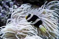 θάλασσα ψαριών κλόουν anemone Στοκ Φωτογραφία