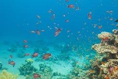 θάλασσα ψαριών κοραλλιών anthias scalefin Στοκ φωτογραφία με δικαίωμα ελεύθερης χρήσης