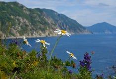 θάλασσα 5 chamomile λουλουδιών Στοκ φωτογραφία με δικαίωμα ελεύθερης χρήσης