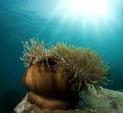 θάλασσα anemone Στοκ εικόνα με δικαίωμα ελεύθερης χρήσης